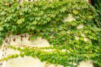 野生のツタをベランダに植えてグリーンカーテンのようにすることは可能でしょうか?ざっくりとした質問ですがお願いします