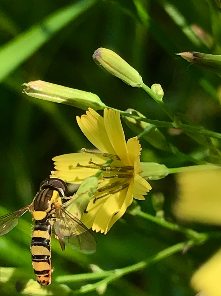 ハナニガナの花に止まっているこの昆虫は何ですか?分かりづらくてすみません。 ハチですか。だとしたら、何というハチでしょうか?