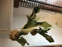 ビカクシダ初心者です。  GWに、鉢植えだったビカクシダ(ビーチーでしょうか)の株分けして、苔玉にしました。 1週間ほど、南向きのベランダの日の当たるところに置いていたためか、茶色かった貯水葉をカットしてしまったためか、胞子葉が茶色気味に、かつ、丸まり気味になっています。(画像の向きがおかしくてすみません)  苔玉で育てるのも初めてですが、乾燥して軽くなったらしばらく水に漬け、今は風...