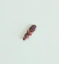 虫(アリ)の死骸につき、閲覧注意です! グロテスクで申し訳ないです、閲覧ありがとうございます。 アリの種類を教えてください。  全長1cm、赤茶色のアリが部屋で死んでいたのですが、アリの種類を教えてください! もしかして、シロアリですか···? シロアリだったらショックなので質問させていただきました。 よろしくお願いいたします。