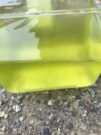 これグリーンウォーターになってますかね? 飼育水と水をたして2日置いたものです 匂いはしません  これ使えますかね?