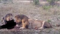 ライオンに詳しい方 大人の雄ライオンはプライドという群れを形成して大人の雄ライオンが群れる事はないと聞きました しかし、この画像のライオンは明らかに大人の雄が群がって餌にありついています プライドで雄が3匹いるとかあるのでしょうか?