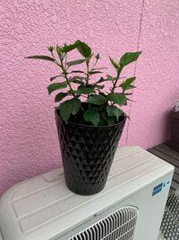 使っていない黒の陶器鉢があります。 黄色い花の咲くハイビスカスの植え替えをしようと思います。 他に白い陶器鉢もあるんですけども…  黒い陶器鉢に仮に置いてみました。 合うと思いますか? ほかに何かある植物はあるでしょうか?
