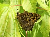 このチョウはヤマキマダラヒカゲで合っているでしょうか?