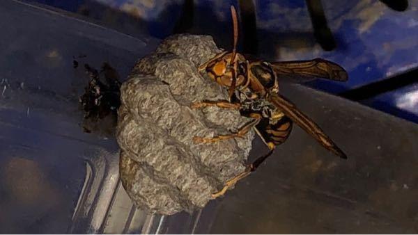 このハチは何というハチでしょうか。 危険性はどの程度あるのでしょうか。 軒下に置いていたペットボトルに巣を作っていました。