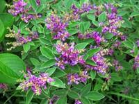 草むらでハギのような花を咲かせているこの植物は何でしょうか。