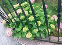 紫陽花を庭の角に地植えしてみようと思うのですが 1株だと大きくなるまでに時間かかりますか?  写真のようなボリュームある感じにするには 何株植える必要がありますか?