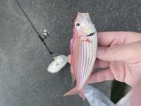このお魚の名前ご存知の方いらっしゃいましたら教えて頂きたいです! 天草の堤防からちょい投げで釣りました!