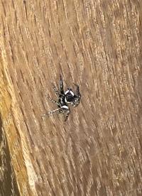家にいた蜘蛛です。 何という名前ですか?