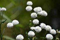 植物です。 真っ白な可愛いお花です。 名前が解りません。 教えて下さい。