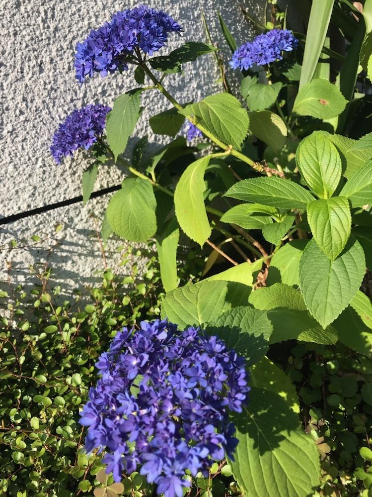 画像の紫陽花?の品種名をおしえてください。 濃いめの紫色の細かい花です。