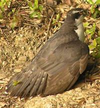この鳥はオオタカでしょうか? カラスに襲われて上から落っこちてきました。