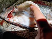 釣れたヒラスズキ(40cm)のお腹を開けたら写真のような白いブヨブヨしたものが沢山ありました。 これは脂肪ですか? 脂肪だとしたら身にも脂が乗っているということでしょうか?