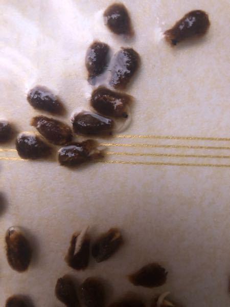 この綿花の種を、 土に埋めるべきか、 もうすこし根が伸びてから埋めるべきか、 教えてもらいたいです。 なんで今頃なの?遅いよ!と思われるとは思っています。(一回目、失敗してしまいました汗)