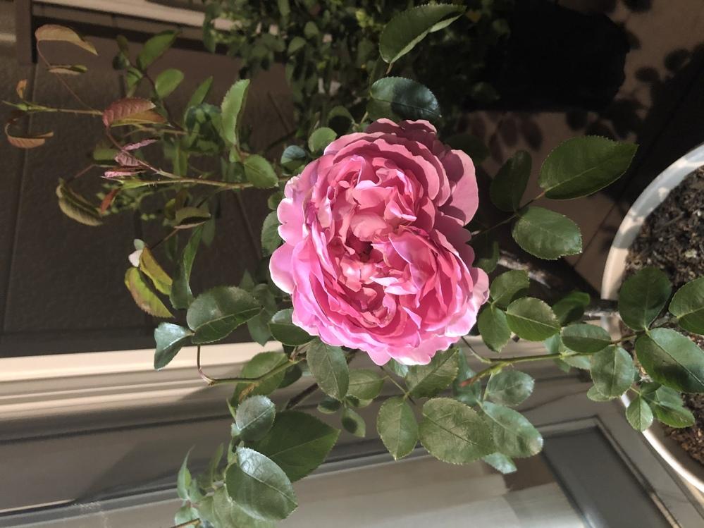 木立性バラ(ピンク系)の品種がわかりません。 四季咲きです。 どなたかわかる方いましたら教えてください。