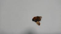 これ蜜蜂ですか? 今日学校で娘が刺されました。 もう治療済みですが。