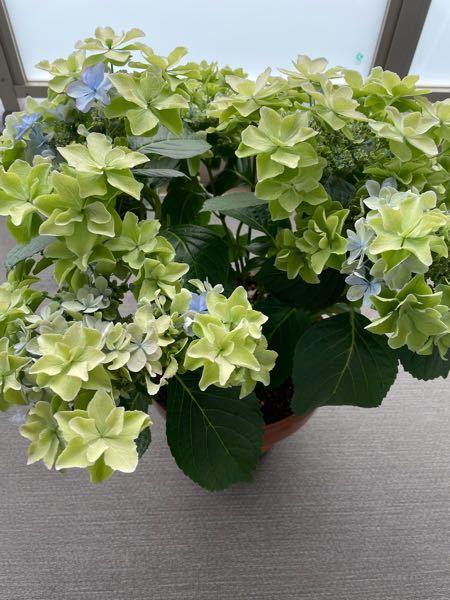 アジサイについて質問です。 今年の4月にアジサイの鉢植えを買い、ベランダで育てています。ガクアジサイのシャイニーという品種です。 大分花が開いてきたと思うのですが、写真の通り全体的に緑色になっています。 調べると咲き始めは緑色で段々色づいてくるとは書いてあるのですが、葉化病というのもあると知り、これが正常な状態なのか不安です。 知識をお持ちの方、ご意見いただけると幸いです。