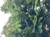 この木に咲いている花は、何の花だかお分かりになる方いらっしゃいますか?  曇り空の下でボケててすみません。。。 花びらは一枚が10cmはある感じの大きめな花でした。