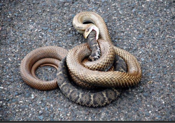 マムシは毒を持っているのに、無毒のシマヘビに捕食されるのは何故ですか? シマヘビは、マムシに反撃されてやられてしまうことはないんですかね。