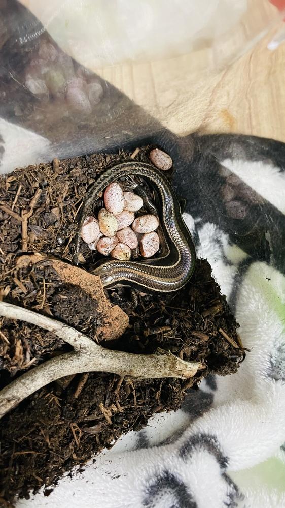 先日拾ったニホントカゲが卵を産んだのですが 初めてなので勝手が分かりません。 教えてくださる方いませんか? 今の状態は 親トカゲが卵を守る感じでずっと寄り添っています プラケや土は湿らせてあります 温度湿度は一定に保てる場所に置いています 撮影時上に乗っていたキャップは退けましたが ペットボトルキャップの下で産卵してます 自分が外出していたのでいつ産んだのかは不明です。 このままで放っておいて大丈夫なのでしょうか? 改善点あれば教えてください!