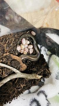 先日拾ったニホントカゲが卵を産んだのですが 初めてなので勝手が分かりません。 教えてくださる方いませんか?  今の状態は 親トカゲが卵を守る感じでずっと寄り添っています プラケや土は湿らせてあります 温度湿度は一定に保てる場所に置いています 撮影時上に乗っていたキャップは退けましたが ペットボトルキャップの下で産卵してます  自分が外出していたのでいつ産んだのかは不明です...