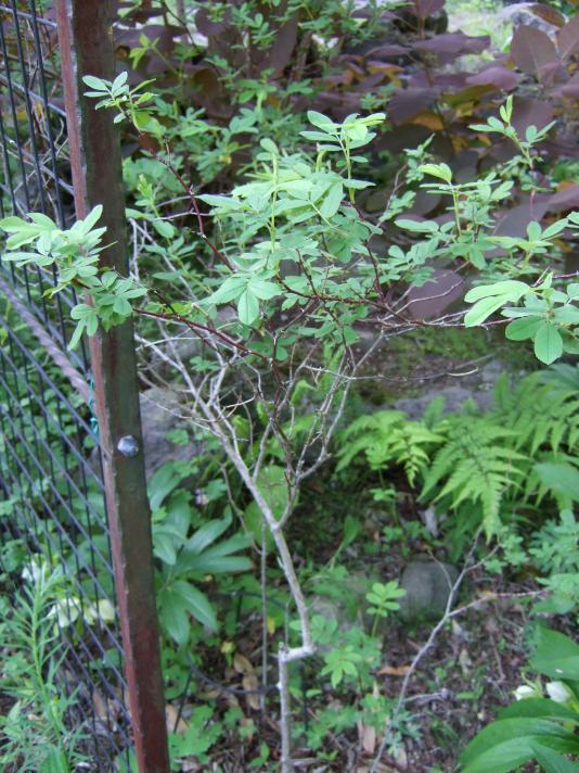 この植物の名前を教えてください。 トゲがあります。