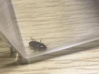 質問失礼致します。 こちらの虫が家の中に居たのですが、人に害がある虫でしょうか? 詳しい方が居られましたらお教え頂きたいです。 宜しくお願い致します。  色:黒 サイズ:1.2~1.5cm 長い触覚2本、脚は6本、背中に縦線の模様、裏側(ひっくり返った時)は茶色