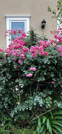 この薔薇の名前、お分かりになる方ご教示お願いします。 写真では大きく見えますが、直径10センチ位の小さい薔薇です。濃いピンク色で是非育ててみたいと思っています。つる薔薇のように見えます。薔薇初心者なので、教えていただけるとありがたいです。