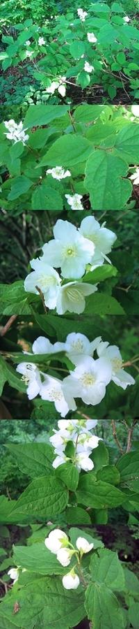 5月の標高300m~400mくらいの低山の日影にあった樹木です。 白いきれいな花をまとまって咲かせています。 何という名前の植物でしょうか??
