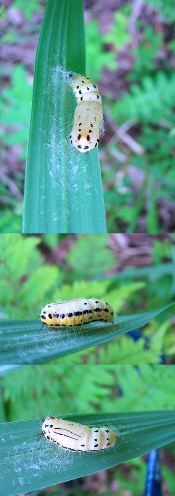 春の山の葉の裏に隠れていた、何かの昆虫のサナギと思われるモノです。 何の昆虫のさなぎでしょうか??