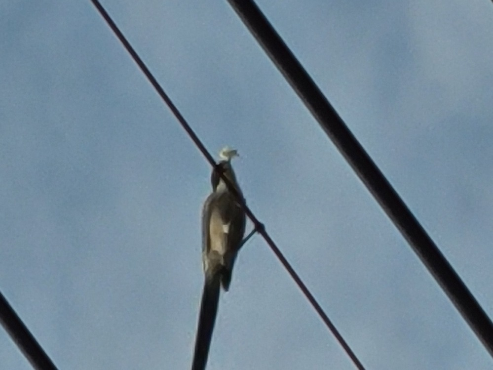 このでかい鳥なんですか? 雀の4-6倍あります。