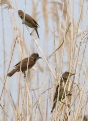 この鳥は何ですか? 宮城県、沼の近くのアシにいました。 鮮明でないのでわかりづらいです。