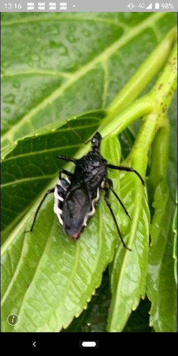 この虫は何と言う虫なのでしょうか? 紫陽花の葉っぱについていました。 どなたか虫のなまえを教えて下さい。