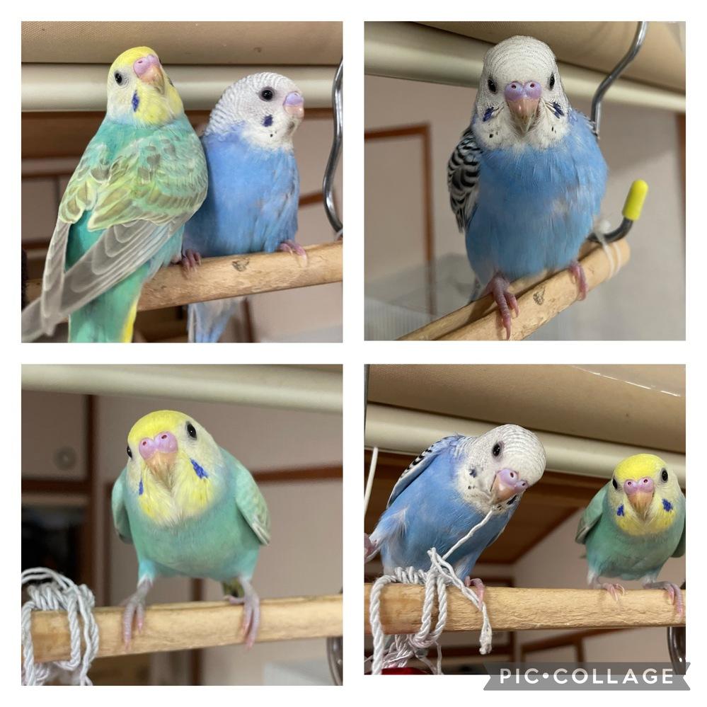 セキセイインコ の性別が知りたいのですが、この子達の性別分かりますか? ブルーの子が2ヶ月ぐらいで、レインボーの子が1ヶ月半ぐらいです。