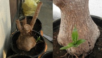 庭の草を刈っていたら、画像のような植物の切り株が出てきました。少し芽が出てきています。何の植物か分かる方教えて下さい。