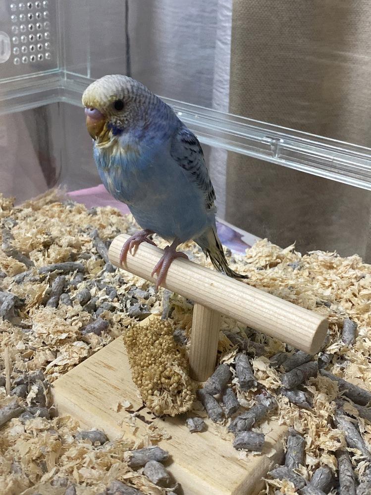 6/3にお迎えしたばかりのセキセイインコです。 挿し餌は1日2回で羽はほぼ生え揃ってます。 お腹の前に指を差し出したら乗ってくれて餌を与えてるんですが、指を高速でしゃしゃしゃって甘噛みっぽい事を...