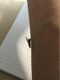 これって女王蟻? 体長1cm満たないって事くらいしかわからないです。 博識な方お願いします。東京で捕まえました。