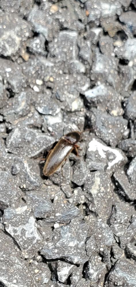 家のキッチンに虫がいたのですが、名前は何でしょうか? 1.5cmくらいでした。 周りに山や林はなく、住宅街です。