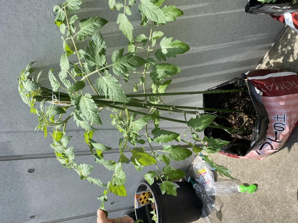 トマトの栽培について教えてください。 1段目のトマトがやっと膨らみだし、2段目も確認できている状態です。随分と生い茂っているな……と思いつつ、光合成が必要とも言うし……とどの葉を取れば良いのか分からず困っています 脇芽は摘んでいます。 どなたかアドバイスいただけますと嬉しいです!どうぞよろしくお願いいまします。