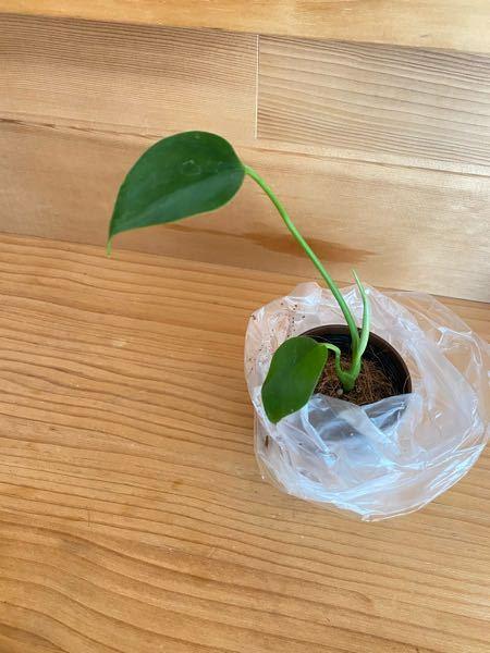 観葉植物について質問致します。 ネット等にて、100円ショップDAISOさんにモンステラが売ってあると知り、買いに行ったのですが、どこに行ってもなく…( ; ; ) 札のない名前の分からない観葉植物が1つだけあり、買って帰ったのですが、これはモンステラでしょうか? 100円商品で、モンステラかクッカバラじゃないかなと思うのですが、分かる方に聞きたく質問致しました。 よろしくお願い致します( ; ; )!
