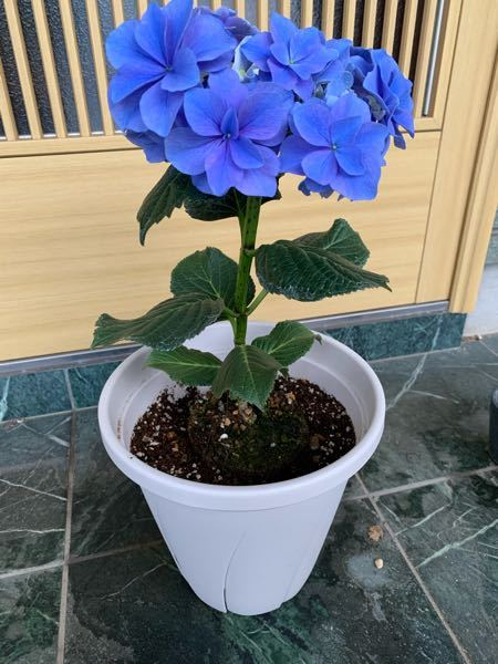 この紫陽花と同じ紫陽花を育てている方や知っている方がいましたら、品種名を教えて頂きたいです。 そこからどうするという訳でもないのでなんとなくで大丈夫です。 特定は難しい等の回答入りません。 よろしくお願いします。