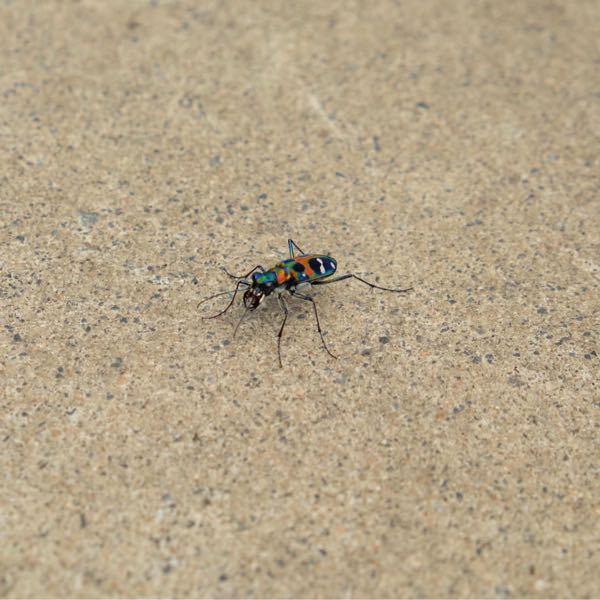 ハンミョウを接写したいのですが、なかなか上手くできません。ハンミョウは人が近づくとすぐに飛んで逃げるのです。飛行距離は2〜3mで前方にゆっくり飛ぶので見失うことはありませんが、近づくと前に飛ぶの繰り返 しで、画像がよく撮れたほうです。 でも画像のハンミョウは小さすぎてハンミョウの美しさがなく、雑虫と同じように見えます。 図鑑や画像のように大きく撮れるのが不思議です。 ハンミョウを接写するコツを教えて下さい。
