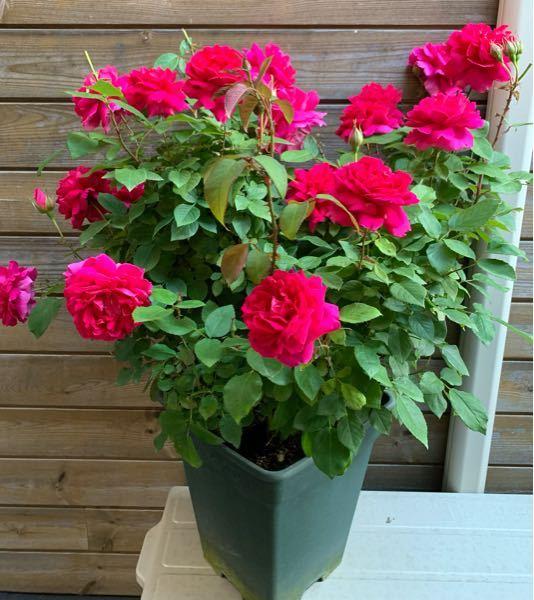 名前を教えて下さい。 数日前に花屋さんで購入したバラです。 名前が分からないという事で安く手に入れました。 色はマゼンタに近く花の大きさは約10センチ、花弁は55枚、香りは微香です。 あと、お店の話では根が張っているので早目に地植えしてくださいと言われました。 まだつぼみのある状態で地植えしてもいいよでしょうか?