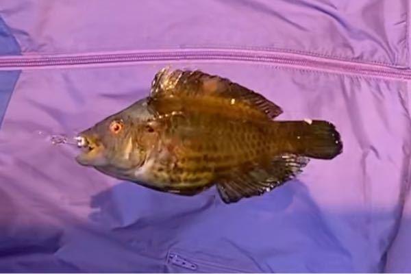 釣れた魚の名前を知りたいです。 よろしくお願いします。