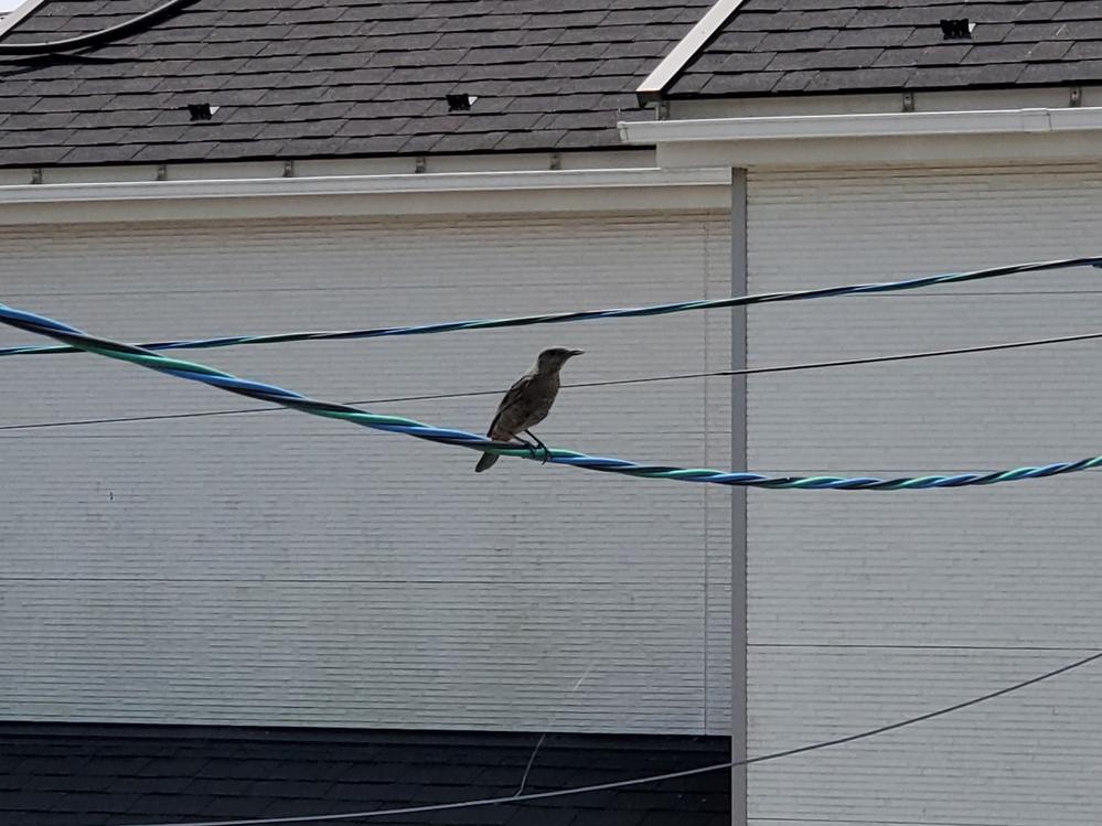 写真の鳥(オス?)が自宅ベランダ付近で、ずっと威嚇するように鳴いています。 メスっぽい同じ鳥がベランダに滞在していたようで、窓を開けた途端逃げて飛んで行きました。 鳥の糞もいっぱいあって困ってい...