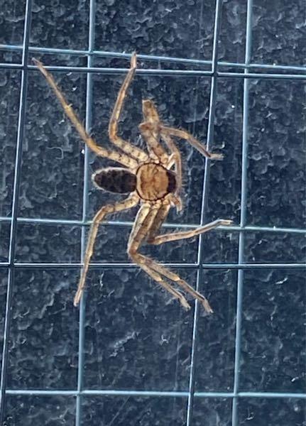 この蜘蛛って放っておいていい蜘蛛ですか? 毒あったり、巣作ったりしますか?
