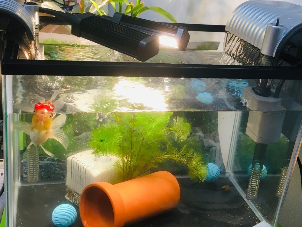 【金魚の飼育環境】 金魚の丹頂1匹を飼い始めました。 成長前のカメに使っていた45cm水槽を使い、 ・テトラの濾過装置を大きさ相当のものと、1段階小さいものの両方を利用。マットはバクテリアが棲みやすいものに変更。 ・濾過ボーイM。バクテリア休眠マット利用。 ・水色のボール2つはバクテリアが水に溶け出すという製品。 ・水草を1束。 ・石巻貝とヒメタニシを4匹ずつ。 ・隠れ家に土管。 で、1匹だけにしては最高の環境かなと思うのですが、水底のフンが一向に消えません。 週1回の水換えでホースで吸い取る予定ですが、こんなものなのでしょうか。 バクテリアか石巻貝かヒメタニシが分解してくれないものでしょうか。 昔はカメの水換えのように何もかも取り出した大掃除を月1回しようと本にも書かれていましたが、最近は濾過装置とかをうまく動かしたら、水の入れ替えだけで大掃除しないというのが主流のように、ネットを見る限りでは思います。 何かアドバイスありますか? 下に砂利を入れないとダメでしょうか。 砂利はカメがよく病気になるので撤去して以来、使ったことはありません。