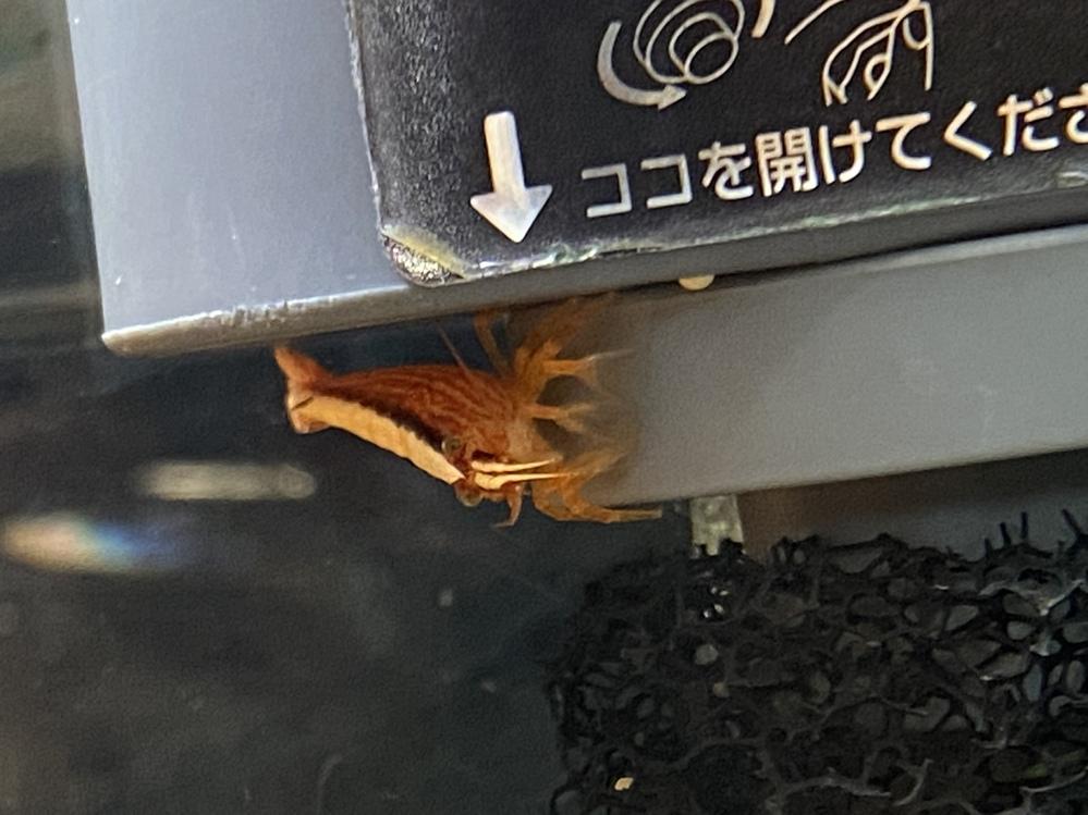 このエビの名前を教えてください よろしくお願い致します