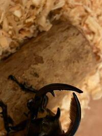 ネプチューンオオカブトの下のツノの先端の部分が欠けて、汁みたいなのが出てきました。これって何ですか?やばいですかね?死にますか?