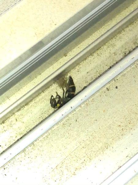 以前から部屋に蜂のような虫が出る事に悩まされています。 網戸にはしていますが、虫が入らないような開け方をしています。 そのほかに虫が侵入しそうな場所は無さそうです。 一度バッタが部屋にいたこともありました。 部屋に観葉植物を置いています。 去年の夏は外に出していた物です。 何か関係はありますか? 本当に虫が苦手で、スプレーで仕留める事は頑張れても、その後の処理ができません。 そしてこの虫は何かわかりますか? 先程窓を開けた時に冊子?を見てみたら、いつも出てくる蜂のような虫が死んでいました。